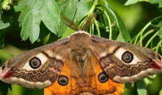 Kleines Nachtpfauenauge Schmetterling 2012 (Foto)