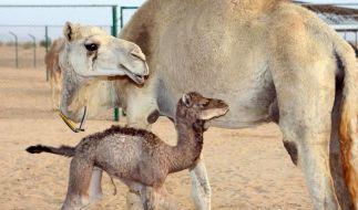 Klon-Kamel Injaz in Dubai (Foto)