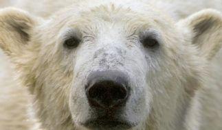 Knut erlag Gehirnentzündung und Virus-Infekt (Foto)
