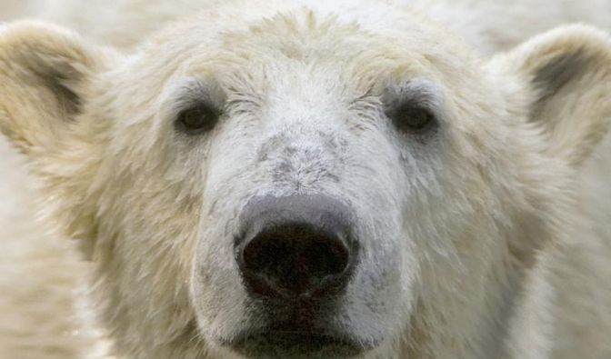 Knut hatte Gehirnentzündung und Virus-Infekt (Foto)