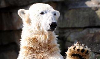 Knut wird vier und verdient für zwei (Foto)