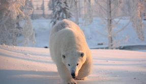 Knuts Erbe? Wilbär kämpft noch mit Hormonen (Foto)