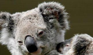 Koalas in Australien auf Liste gefährdeter Arten (Foto)