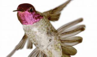 Kolibris lassen ihre Schwanzfedern singen (Foto)