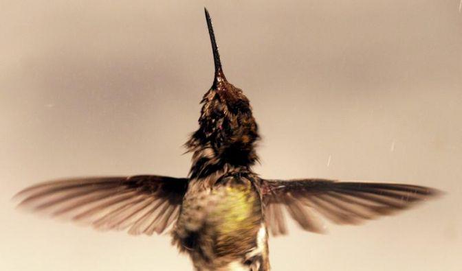 Kolibris schütteln im Flug Wassertropfen ab (Foto)