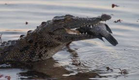 Krokodil (Foto)