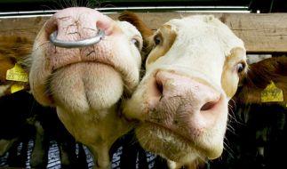 Kühe (Foto)