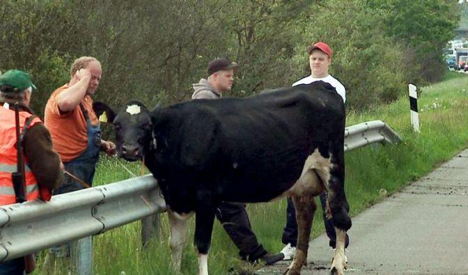Kuriose Staugründe: Fliehende Ferkel und schleckende Schafe (Foto)