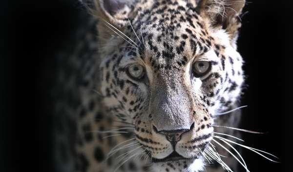 Leopard (Foto)
