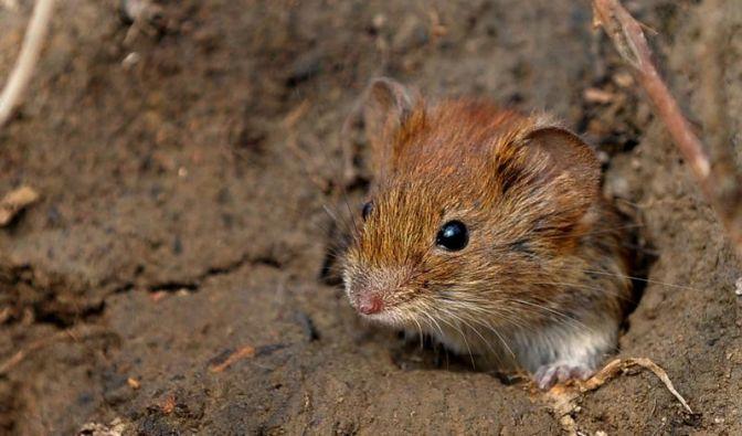 Mäuse gingen mit Wikingern auf große Fahrt (Foto)