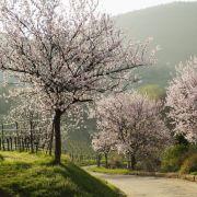 Während Deutschland noch friert, blühen auf verschiedenen Inseln im Mittelmeer schon die Mandelbäume.