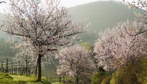 Mandelblüte am Mittelmeer (Foto)