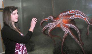 Menschen mögen den Oktopus - ob als wissenschaftliches Faszinosum (wie auf diesem Symbolfoto) oder auf dem Teller. (Foto)
