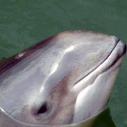 Mexiko will Schweinswale vor dem Aussterben schützen (Foto)