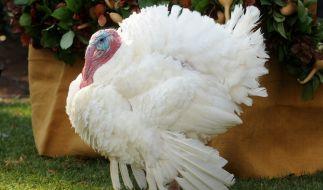 46 Millionen Truthähne sollen 2015 beim amerikanischen Thanksgiving auf die Tische kommen. (Foto)