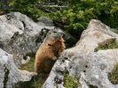 Murmeltiere haben ihr eigenes Wachsystem (Foto)