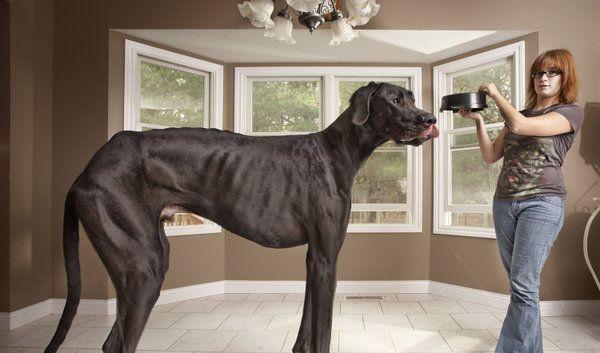 Na, möchten Sie die Dogge Zeus einmal kennenlernen? Das Tier, das in den USA lebt, ist nun der offiziell größte Hund der Welt. Er misst 1,12 Meter. (Foto)