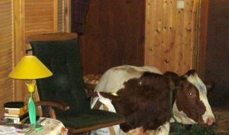 Nach dem Schreck erstmal ausruhen: Diese Kuh machte es sich in einem Wohnzimmer gemütlich. (Foto)