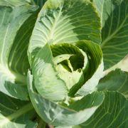 Nachbarschaftshilfe im Gemüsebeet - Sellerie schützt den Kohl (Foto)
