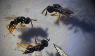 Nasonia-Wespen (Foto)