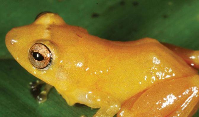 Neue Froschart entdeckt: Tiere färben ab (Foto)