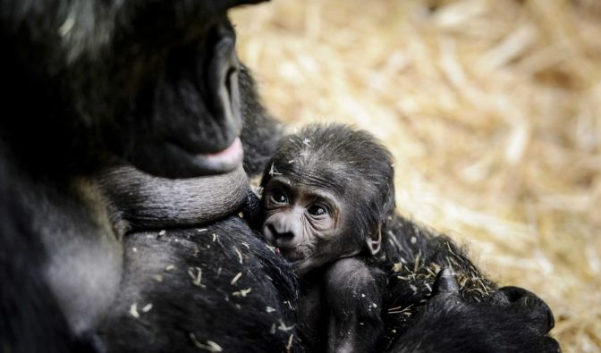 """Niedliche 1750 Gramm: Gorilla-Dame """"Sindy"""" im Amsterdamer Zoo Artis hat Nachwuchs bekommen. (Foto)"""