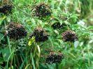 Ob Beeren oder Blüten - Holunder hilft bei Erkältungen und Fieber.  (Foto)