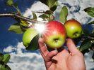 Obstbauern erwarten trotz Frostschäden gute Ernte (Foto)