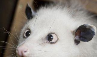 Opossum Heidi hätte wohl auf ihre Mama hören sollen, die sie vor dem Schielen gewarnt hat... (Foto)