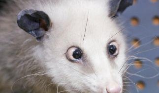 Opossum «Heidi» schielt sich in die US-Medien (Foto)