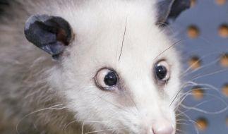 Opossum Heidi soll Oscars präsentieren (Foto)