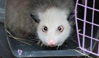 Opossum Heidi blickt aus einer Transportkiste während des Umzuges in ihr neues Gehege im Zoo Leipzig (Foto)