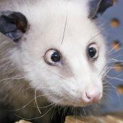 Opossum Heidi hat alles im Blick.