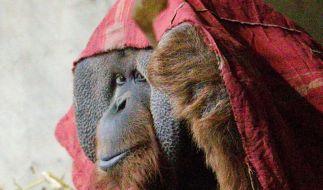 Orang-Utan genetisch zu 97 Prozent mit Mensch identisch (Foto)