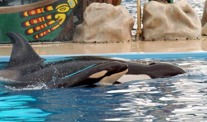 Orca-Parks stehen schon lange unter der Beobachtung von Tierschützern. (Foto)