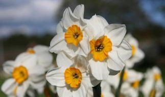Osterglocken: Frühlingsboten mit großer Show (Foto)