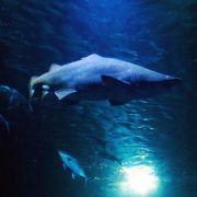 Das Schwarmfischbecken beeindruckt nicht nur mit seiner Größe. Seit Februar 2012 tummelt sich darin ein Sandtigerhaiweibchen.