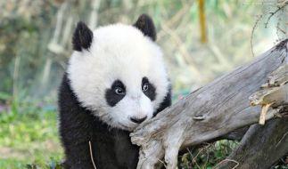 Panda (Foto)