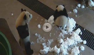 Pandas in Toronto