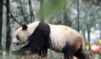 Pandamännchen orientieren sich besser als Weibchen (Foto)
