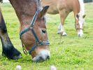 Pferde schrittweise an frisches Gras gewöhnen (Foto)
