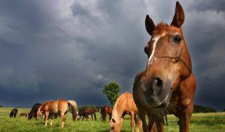 Pferde traben auf einer Wiese in Schwaben (Foto)