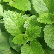 Pflanze gegen Stess: Melisse hat eine beruhigende Wirkung. (Foto)