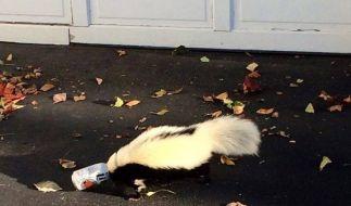 Prost! Dieses Stinktier steckte in einer Bierdose fest. (Foto)