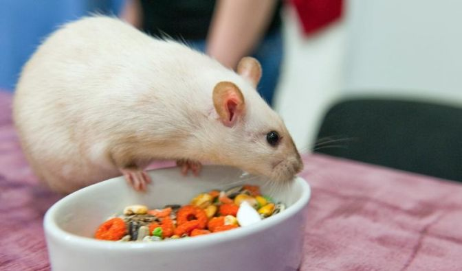 Ratten wollen beschäftigt werden (Foto)