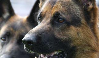 Schäferhunde verletzen zwei Menschen schwer (Foto)