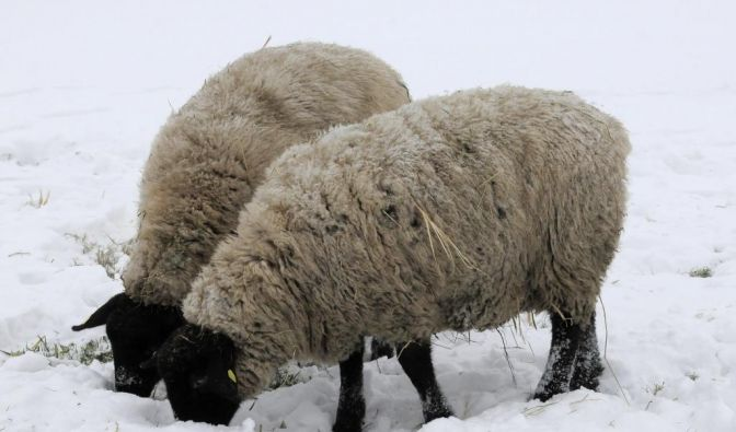 Schafe im Schnee (Foto)
