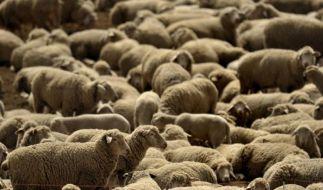 Schafe (Foto)