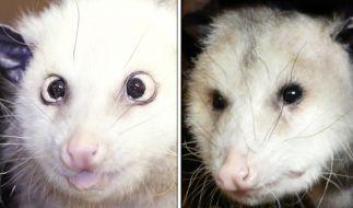 Schiel-Heidi soll mit Teddy (rechts) kleine Opossums produzieren, hofft der Zoo. (Foto)