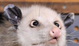Schielendes Opossum Heidi ist tot (Foto)
